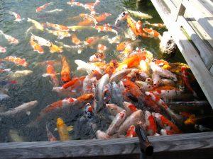 鯉の紅葉狩りみたい